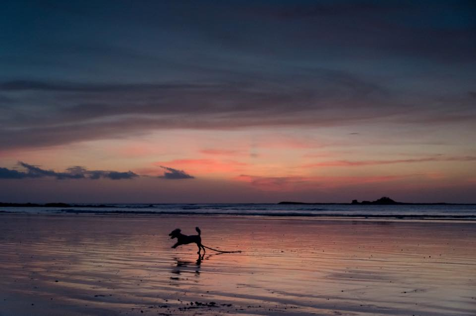 Toy poodle running on the beach during sunset in Tamarindo, Costa Rica. Photographed by Kristen M. Brown, Samba to the Sea Photography.