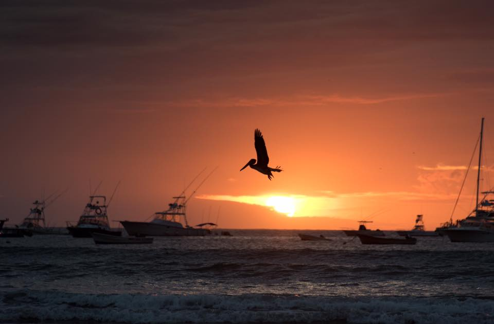 Pelican flying at sunset in Tamarindo, Costa Rica. Photographed by Samba to the Sea.
