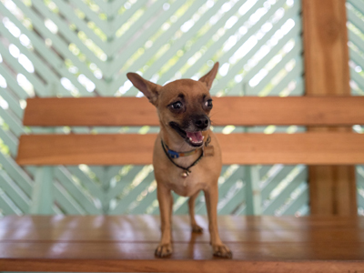 Gidget the Chihuahua at The Harmony Hotel in Nosara, Costa Rica.